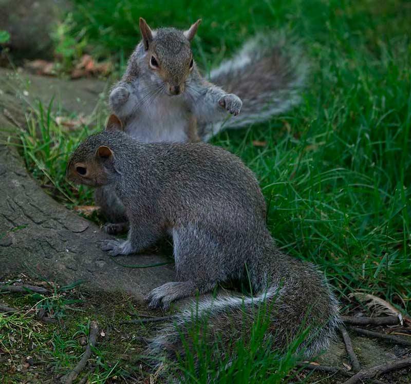 SquirrelPounceWEB1