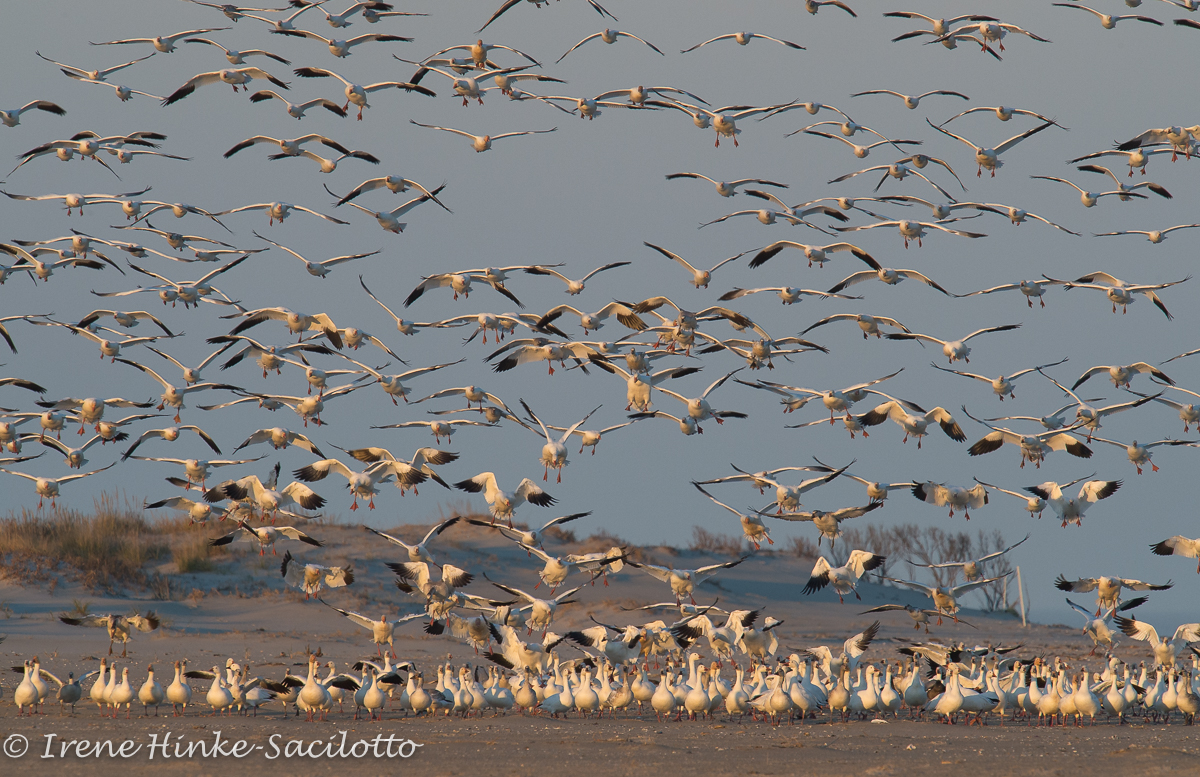 Chincoteague NWR. Greese on ground are agitated and vocal as the new group approached of landing.