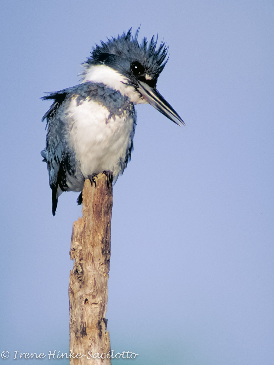 Belted Kingfisher fishing from its favorite perch.