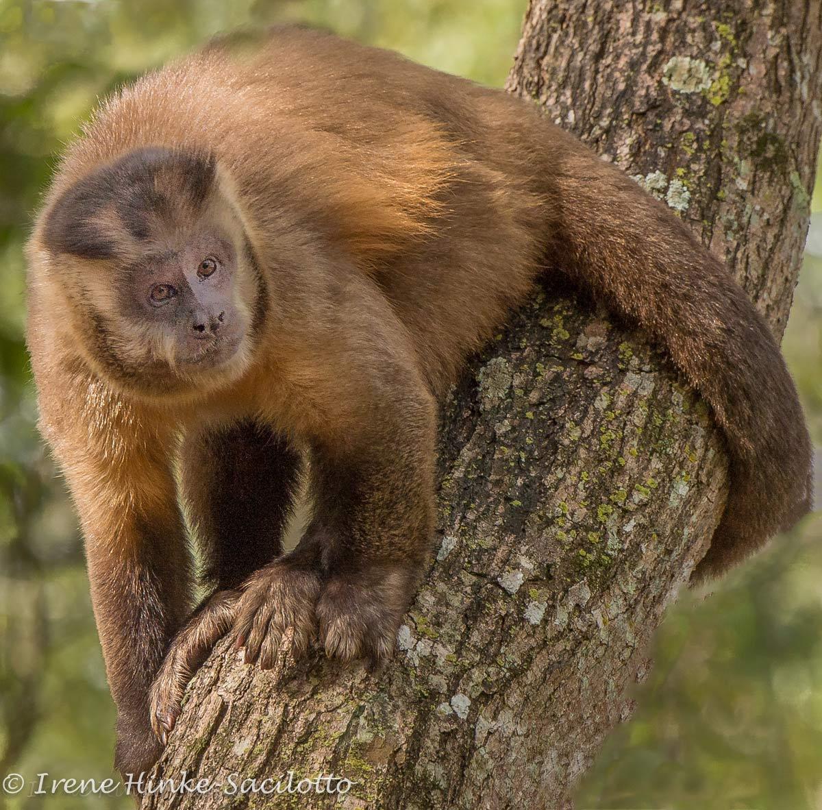 Cupuchin-Monkey-9830WORD