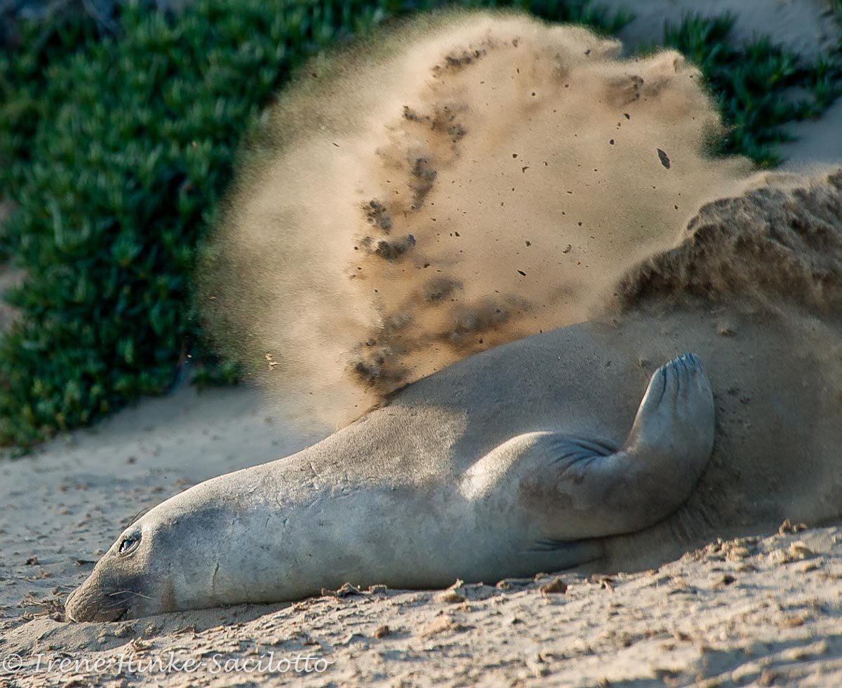 Elephant seal throwing sand perhaps to cool off.