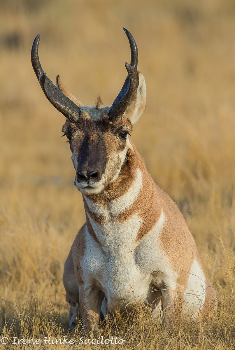 Pronghorn, herds often move in a particular direction. Often found in same area.