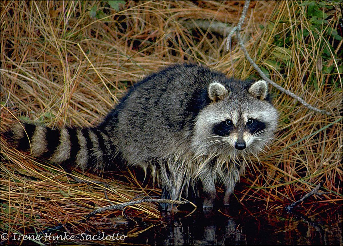 Raccoon photographed while walking along one of the ditches at Chincoteague, VA.