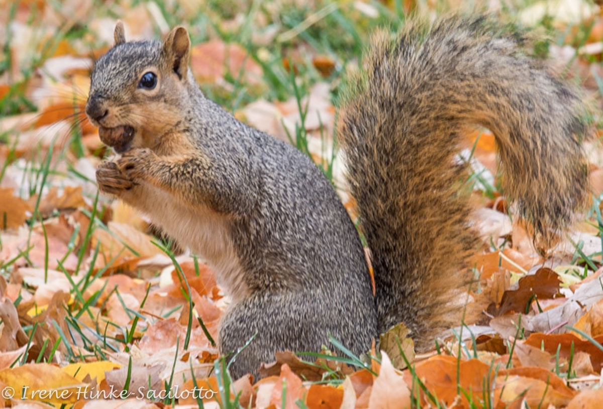 Squirrel storing nut for the winter.