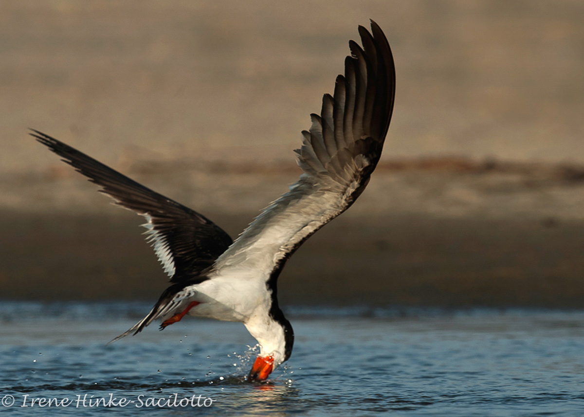 Black Skimmer, fishes in shallows often following bank
