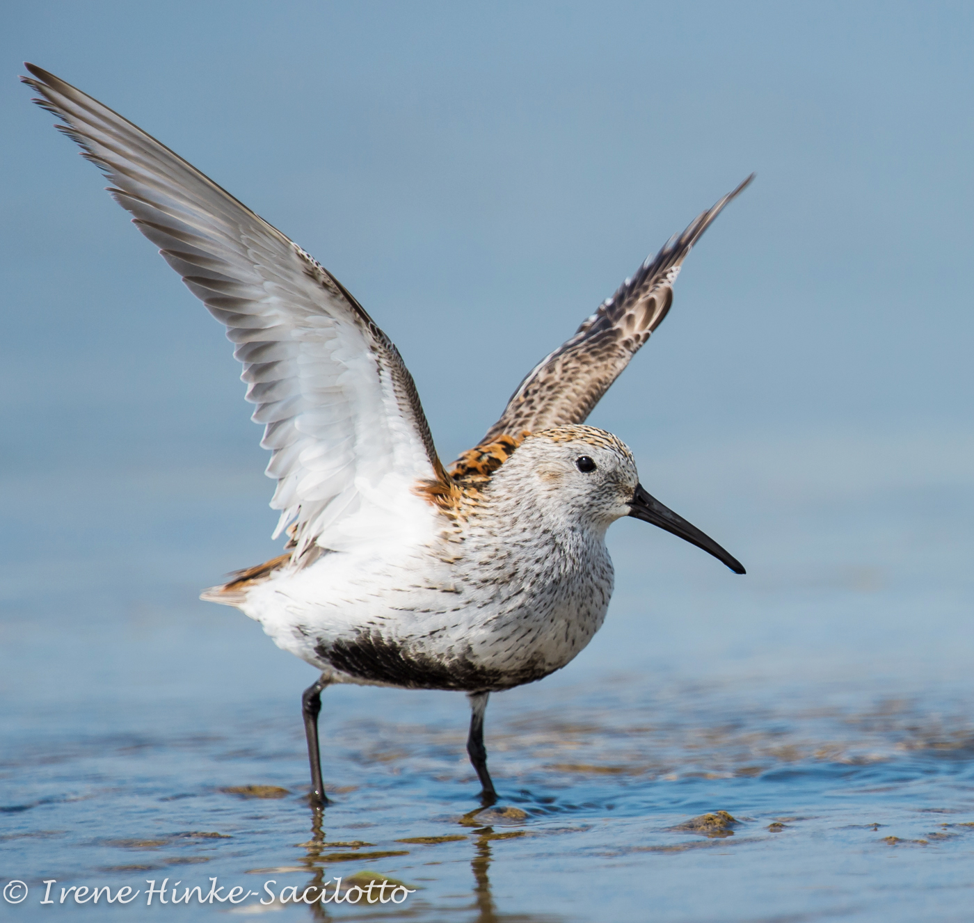Dunlin.  Visit the island during the spring.