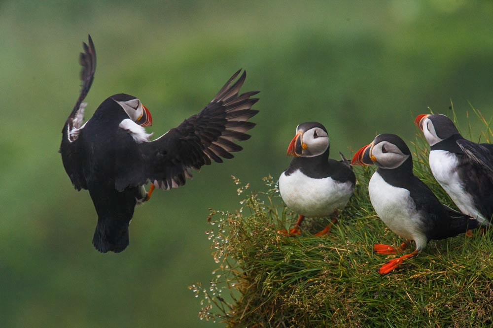 Puffin landing. Birds on the ground became animated as the other approach.