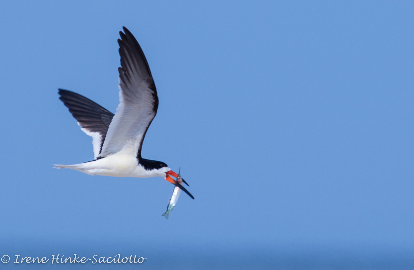 Black Skimmer with fish flying over beach.