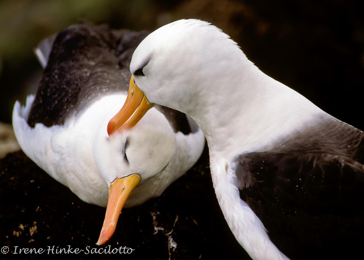 Black Browed Albatross preening each other. Pair bonding during breeding season.