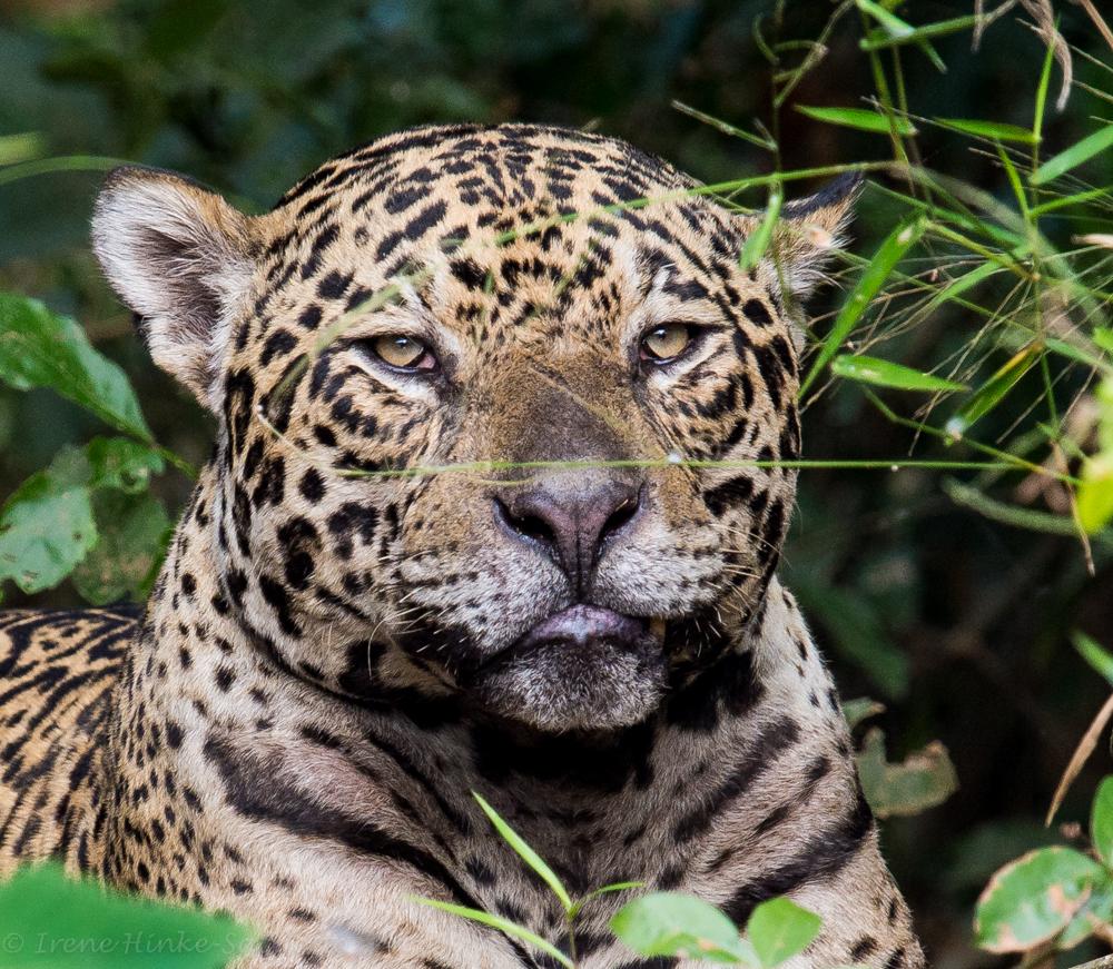 Jaguar Head: Brazilian Pantanal Photo Tour