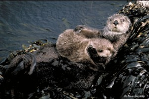 sea otter and baby