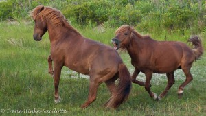 Photo of wild horses fighting. Show during orientation for photo workshop.