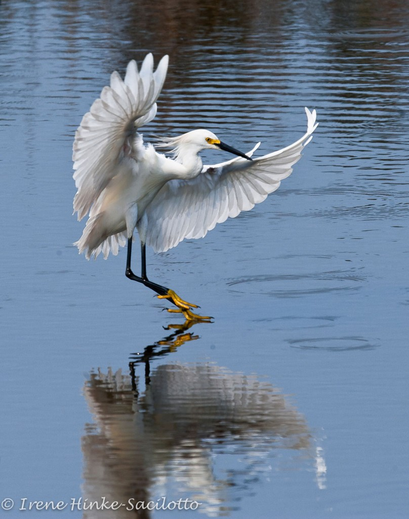Snowy egret fishing in shallow pond.