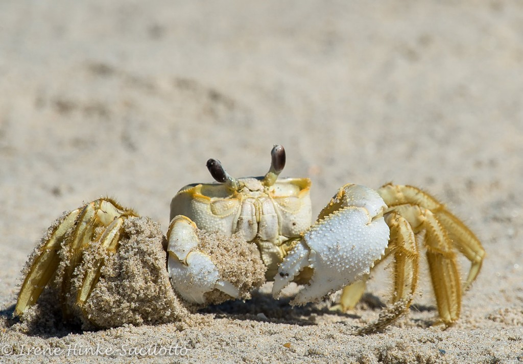 Ghost crab removing sand from its hole. A sight for photographers on Assateague Island.
