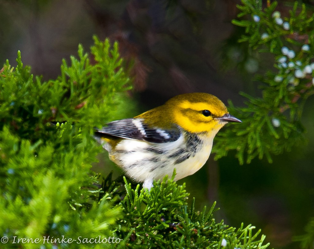 Black Throated Green Warbler migrate north along the Atlantic Coast during the spring.