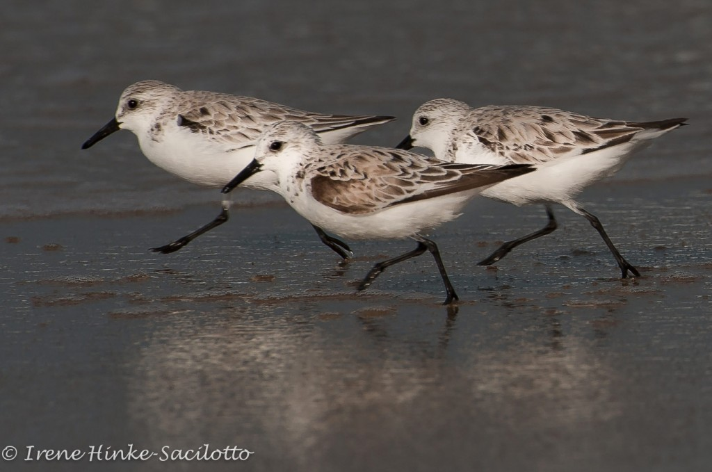 Sanderlings are often seen on the beaches of the Outer Banks