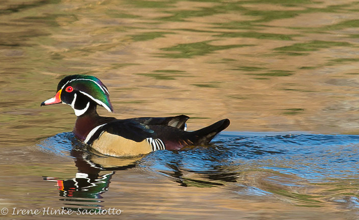 On this photo workshop we may encounter a wood duck.