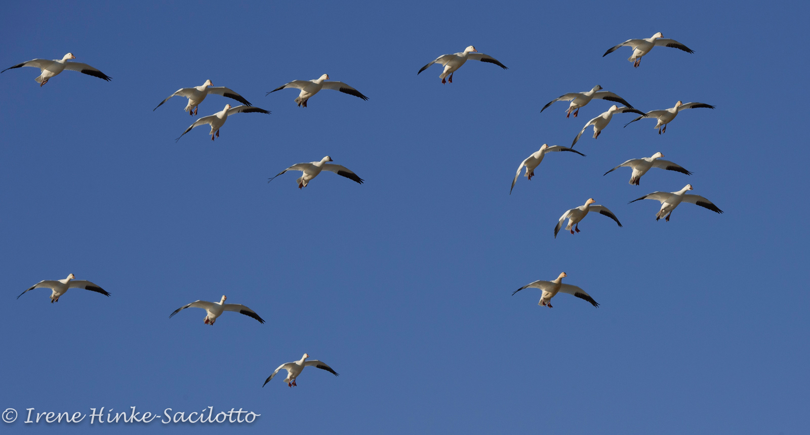 Snow Geese landing Chincoteague