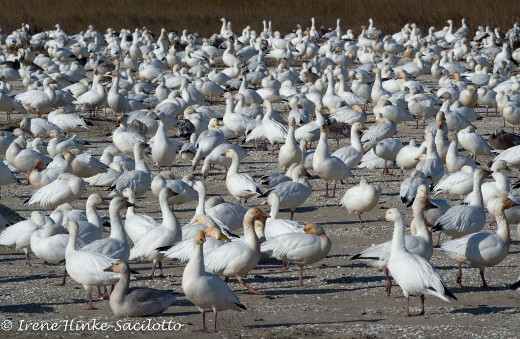 Snow Geese Flock at Chincoteague