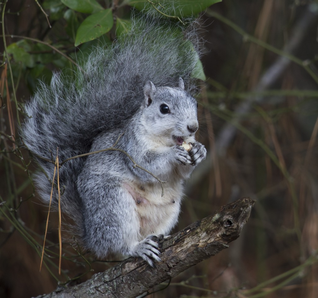 Squirrel eating on branch in Chincoteague