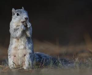 Delmarva peninsula fox squirrel, an animal you might see on the Nature Photography Workshop on Chincoteague. NWR