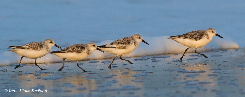 Sanderlings running along shore. Commonly scene during nature photography workshop on Chincoteaague.