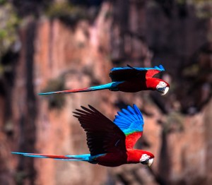 Red and Green Macaws flying in front of a waterfalls.