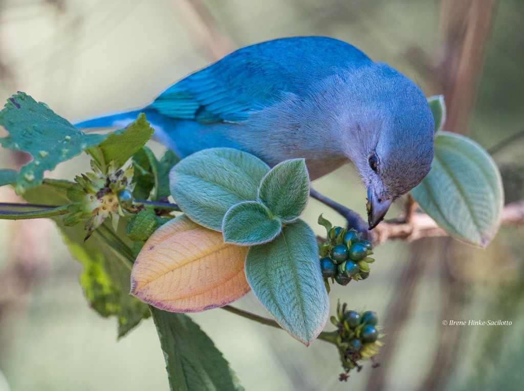 Sayaca Tanager is a beautiful small bird eating berries.