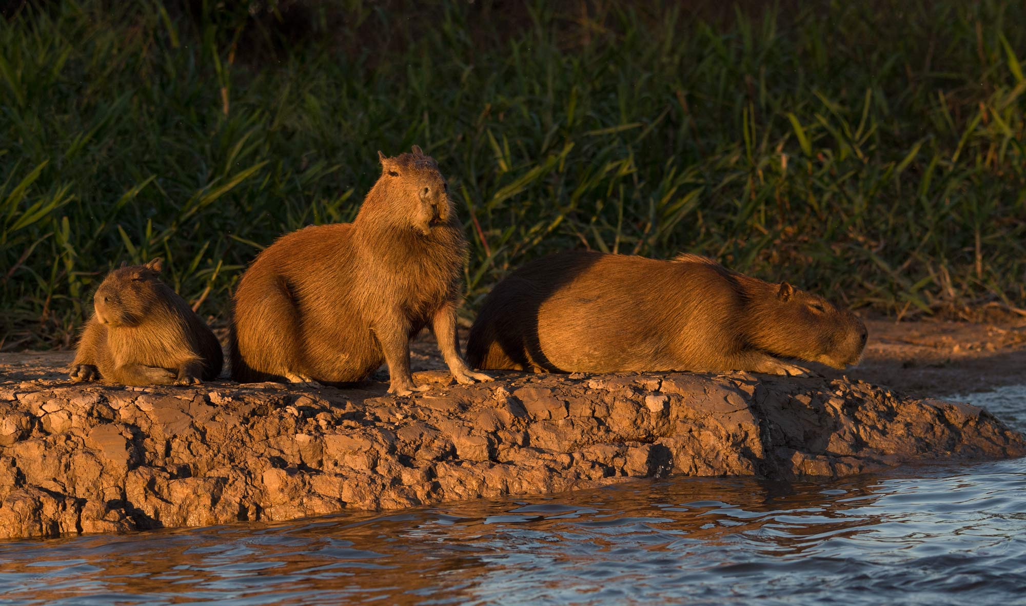 Capybara are the largest rodents. Found in the Pantanal.