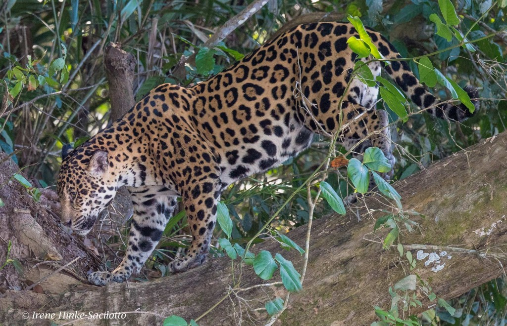 The Jaguar population is very health in the Pantanal.