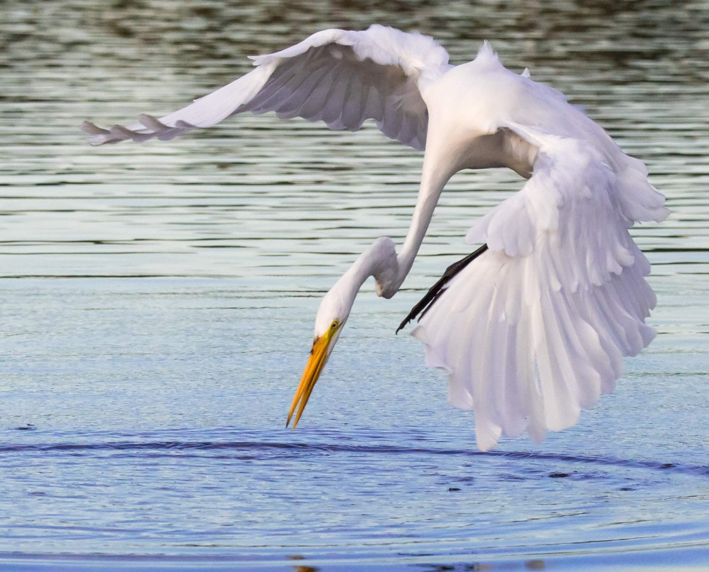 Great egret diving after fish in the Pantanal