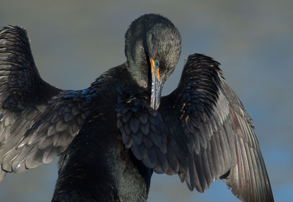 Cormorant preening and drying wings. A sight possible on the Nature Photography Workshop on Assateague Island
