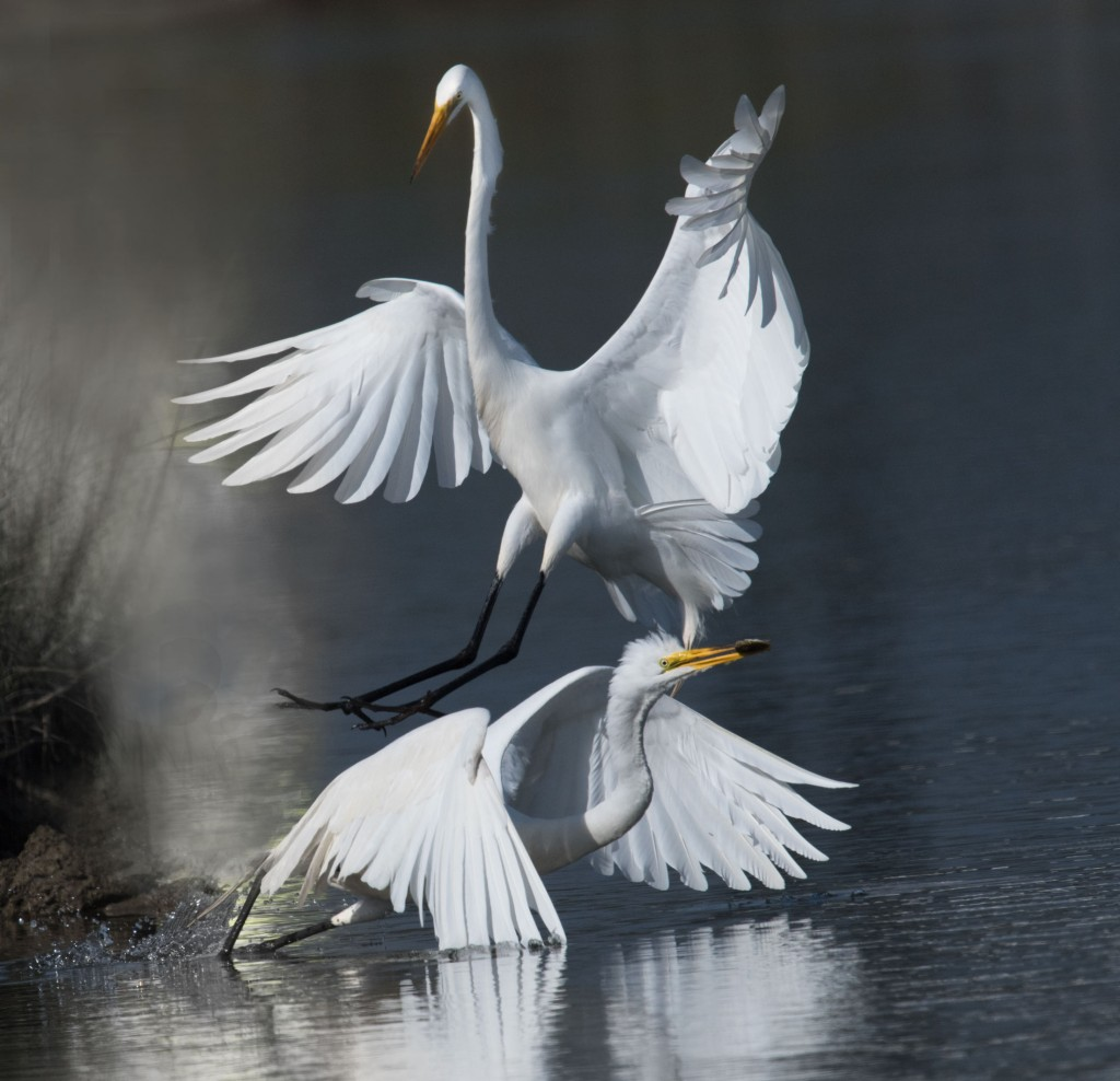 Egrets fighting over fish while scouting for my photo workshop on Tangier Island.