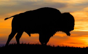 Buffalo silhouette at sunset on ridge in North Dakota Badlands.