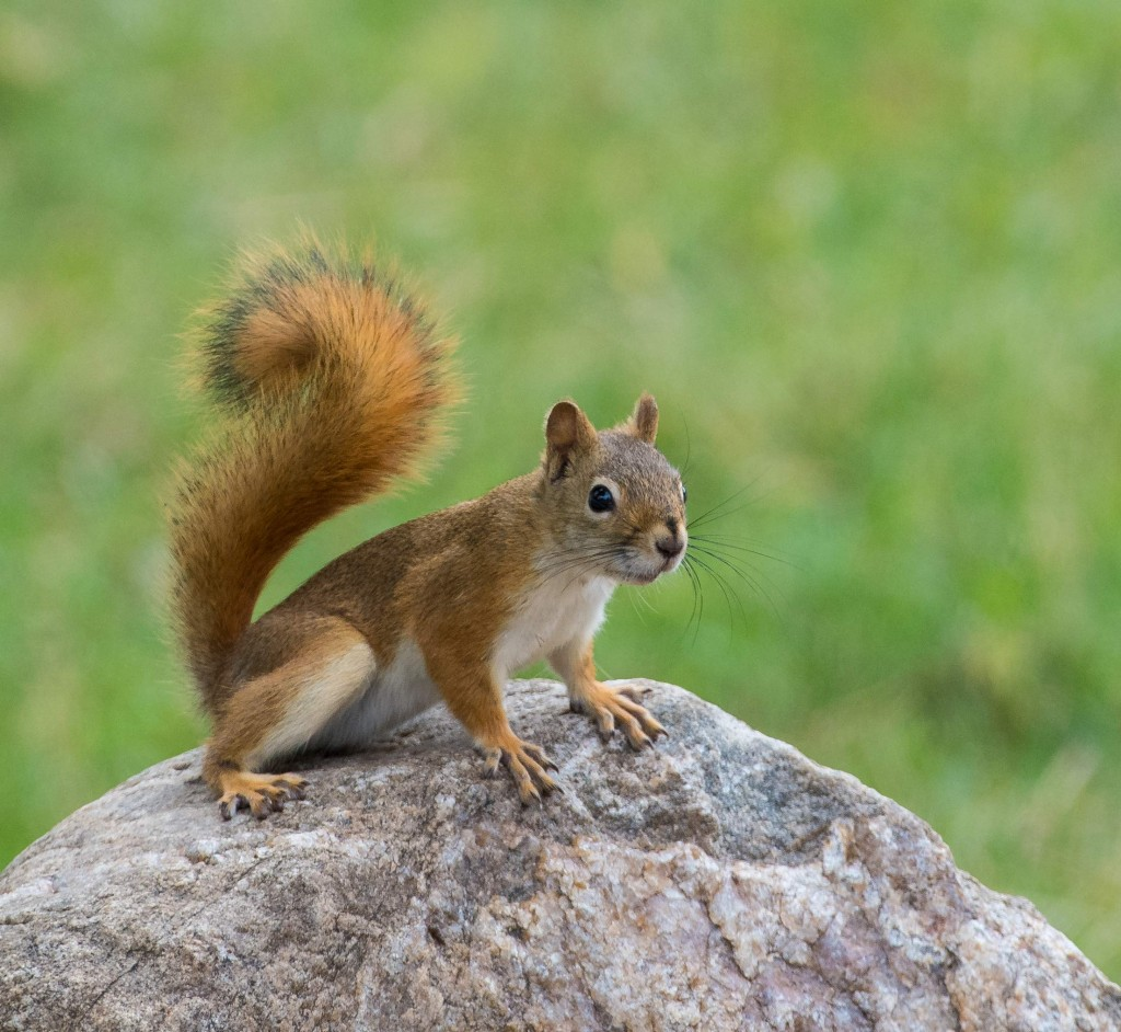 Red Squirrel on rock in South Dakota