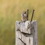 Chipmunk on post along farm road in North Dakota