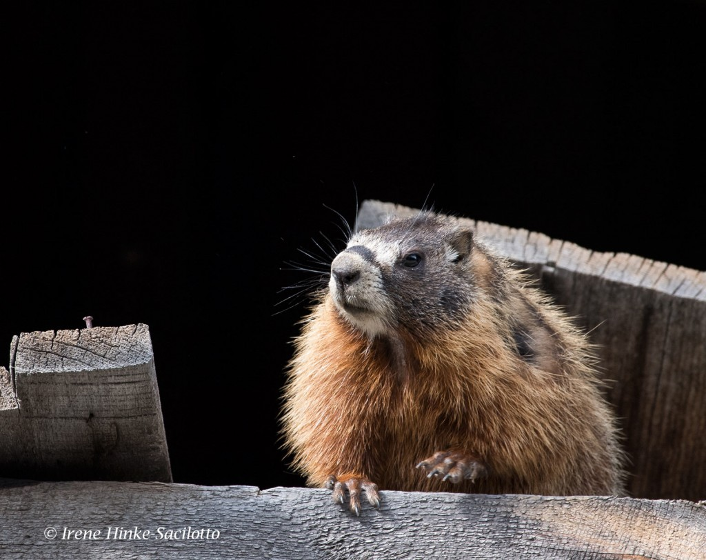 Marmot hiding in shed photographed in South Dakota.