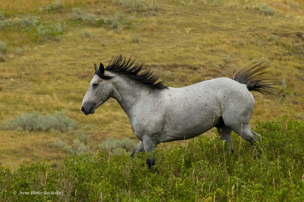 Wild horse in the North Dakota Badlands