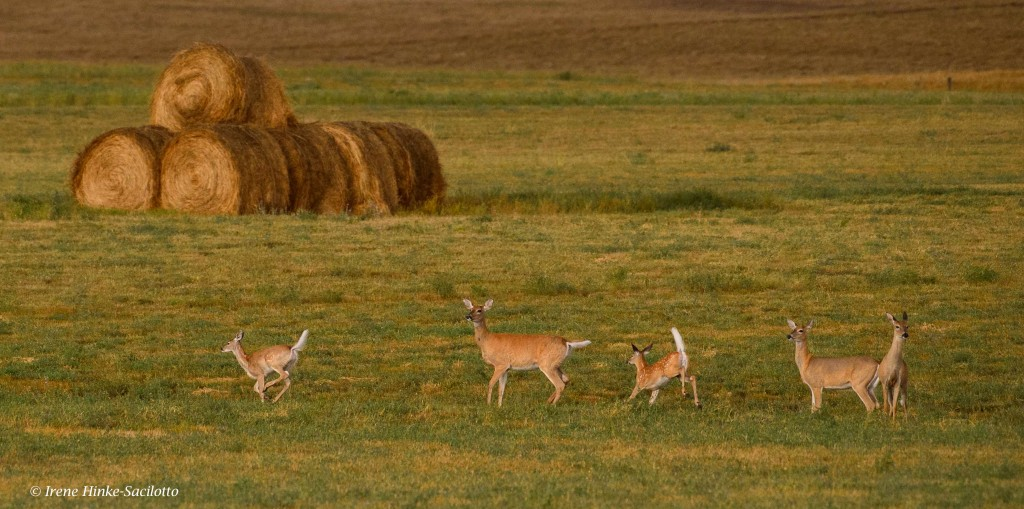 White tailed deer in a hay field in North Dakota.