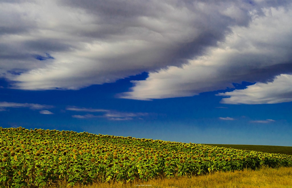 Sunflower field in South Dakota. Clouds added a nice touch.