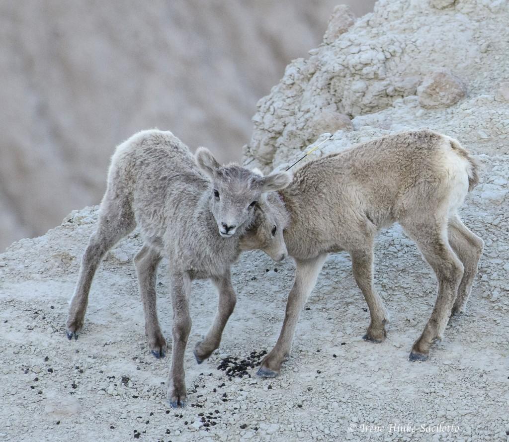 Playing baby bighorn sheep
