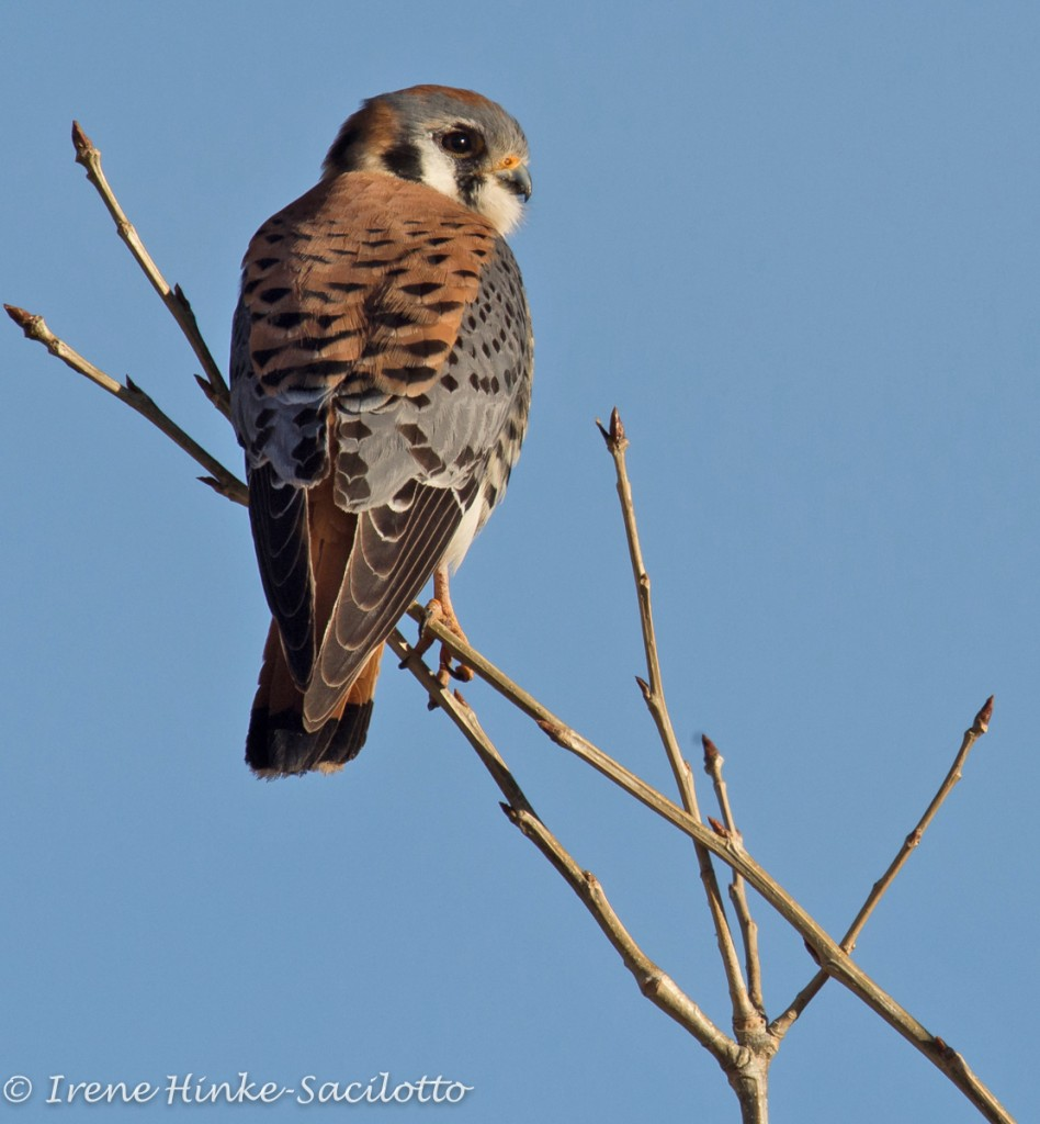 American Kestrel Perched on Branch