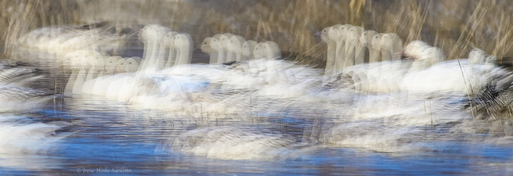 Snow geese multiple exposure