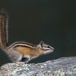 Chipmunk on the run