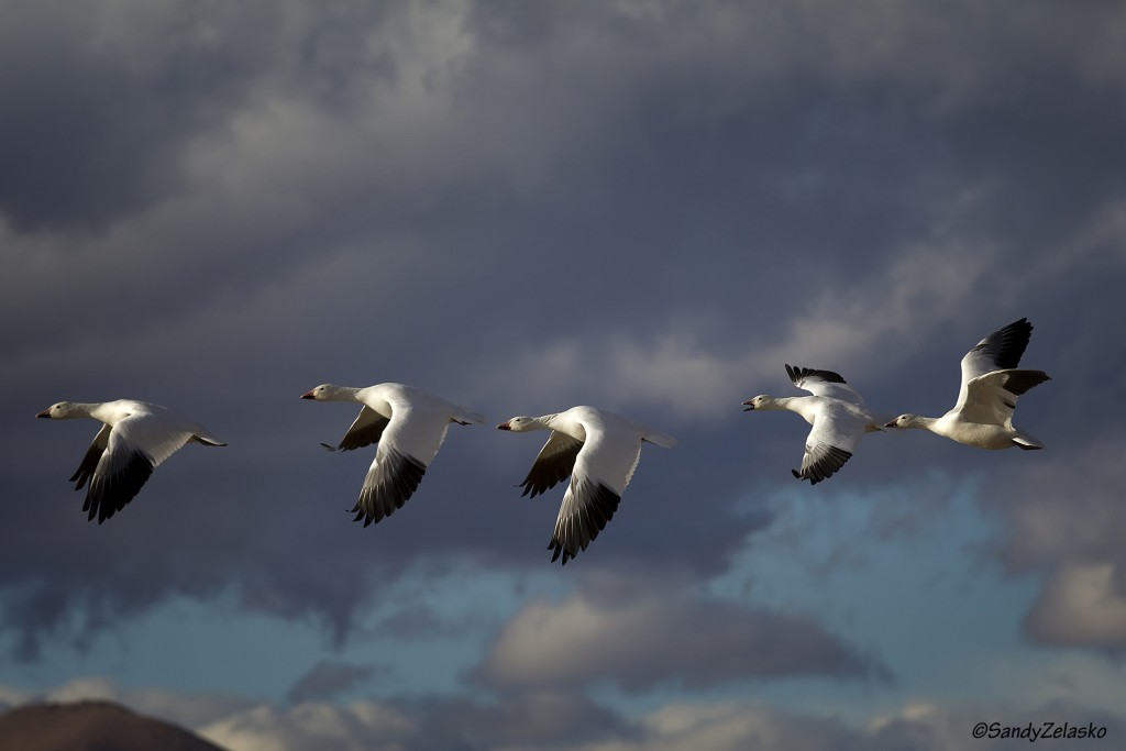 Snow Geese Take Flight with cloudy sky