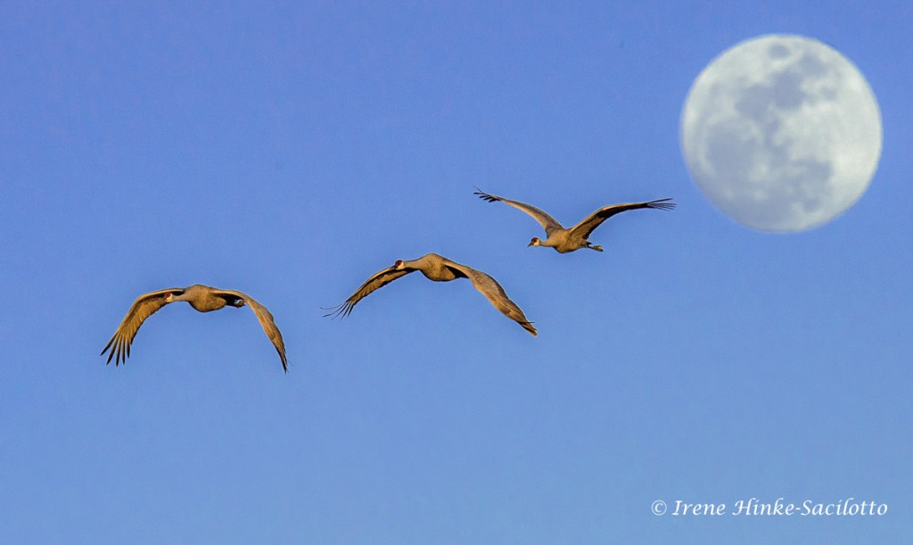 Full moon with Sandhill Cranes