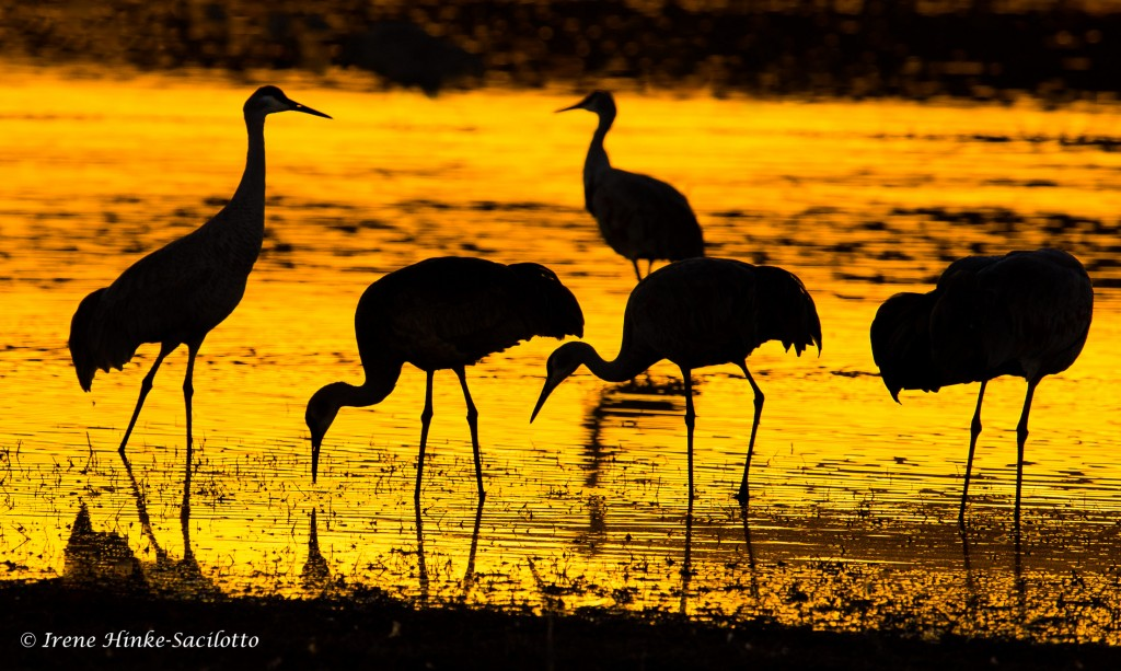 Sandhill group at sunset feeding in pond