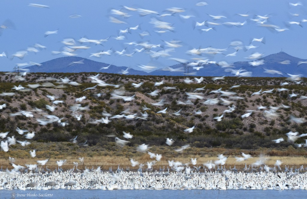 Snow Geese Landing slow motion