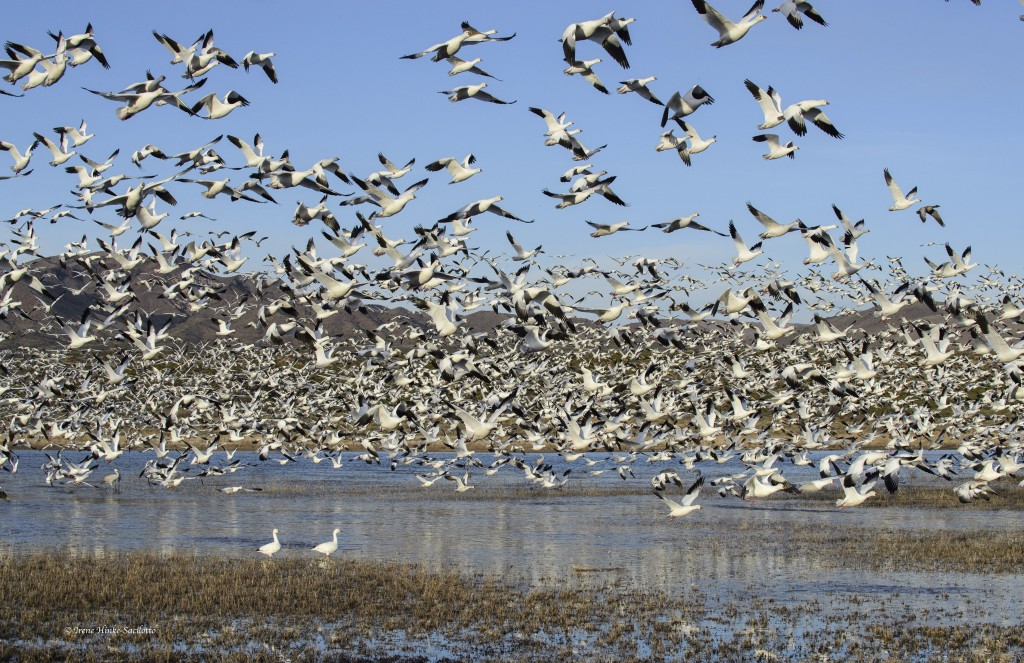 Snow geese lift off from pond