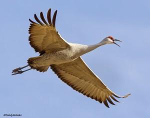 Sandhill Crane in Flight Calling